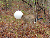 deer gets head stuck in a headlight