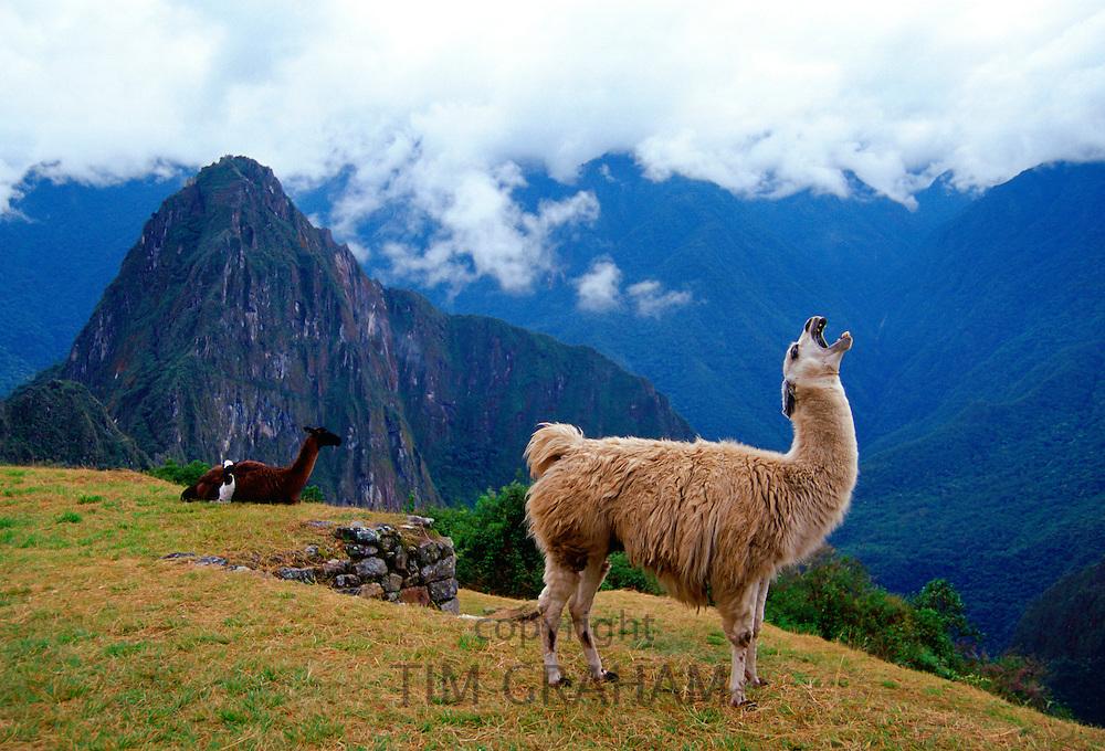 Llama, Machu Picchu ruins of the Inca citadel discovered in 1911 in Peru, South America