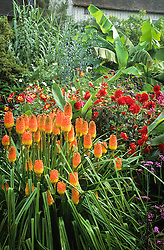 Kniphofia linearifolia with Dahlia 'Witteman's Superba' and Musa basjoo in the exotic garden at Great Dixter