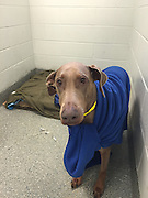 "Doberman on the Mend after Ingesting Nearly Three Whole Wrist-Watches<br />  <br />  <br /> A five-year-old Doberman named ""Mocha"" is on the mend after devouring nearly three wrist watches—bands, metal and all—which resulted in a two-day stint last week at  the MSPCA's Angell Animal Medical Center in Boston, the organization announced today.<br />  <br /> Angell doctors credited the quick thinking of Mocha's owners, who rushed the beloved canine to the animal ER immediately after discovering bits and pieces of the watches on the floor of their home.<br />  <br /> Mocha was admitted on April 16 and endured a three-hour endoscopic procedure which allowed the medical team to determine how much material was in her belly—and the best way to remove it.  The team was able to remove some of the leather from Mocha's stomach using the endoscopy instruments, then took a ""wait and see approach"" with the rest. <br />  <br /> ""We basically allowed nature to take its course and, over a period of several days, Mocha eliminated another pound of broken leather straps, buckles and various other metal pieces,"" said Dr. Zachary Crouse.  ""We were especially cautious and wanted to avoid surgery—given her history,"" he said.<br />  <br /> Not Mocha's First Visit to the Animal ER<br /> Mocha's visit followed an August 2014 incident in which she swallowed a plastic juice container lid, which caused an intestinal obstruction that required emergency surgery to resolve.  Her devoted owners, Michele Parkinson and Jeff Courcelle of Salem, Mass., took no chances this go-round.<br />  <br /> ""We brought her to Angell as soon as my husband saw the broken watch pieces, even though she was showing no symptoms whatsoever,"" said Michele, who works as a nurse in the hematology department of a major area hospital.<br />  <br /> ""I was extremely concerned that she would need another surgery—and worried about the long-term impact such a procedure could have, given that she'd already had a foreign body surgically removed not even one year ago.  Fortunately, sh"