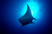 UNDERWATER MARINE LIFE HAWAII FISH: Manta ray Mobula species