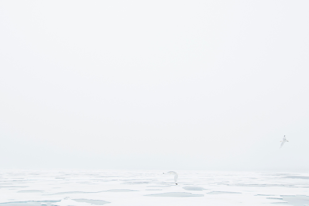 Gulls flying above the mist covered sea ice in northern Svalbard.