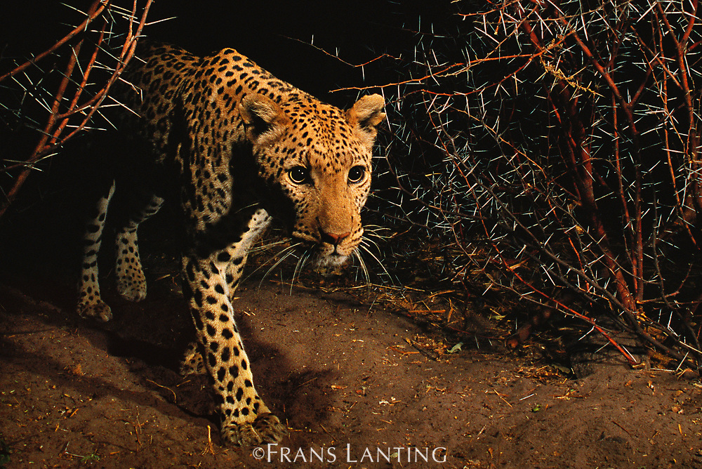 Leopard in thornbush, Chobe National Park, Botswana