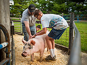26 JUNE 2019 - CENTRAL CITY, IOWA: JOE RUNDLE, 17, right, and KENNY NACHTMAN wrangle Joe's pig into the scales at the swine check in at the Linn County Fair. Summer is county fair season in Iowa. Most of Iowa's 99 counties host their county fairs before the Iowa State Fair, August 8-18 this year. The Linn County Fair runs June 26 - 30. The first county fair in Linn County was in 1855. The fair provides opportunities for 4-H members, FFA members and the youth of Linn County to showcase their accomplishments and talents and provide activities, entertainment and learning opportunities to the diverse citizens of Linn County and guests.       <br /> PHOTO BY JACK KURTZ
