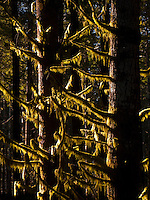 moss hangs on broken off branches in the understory of a coniferous forest on the Kamilche Peninsula in Puget Sound, Washington state, USA