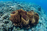 Barrel Sponge (Porifera)<br /> Cenderawasih Bay<br /> West Papua<br /> Indonesia