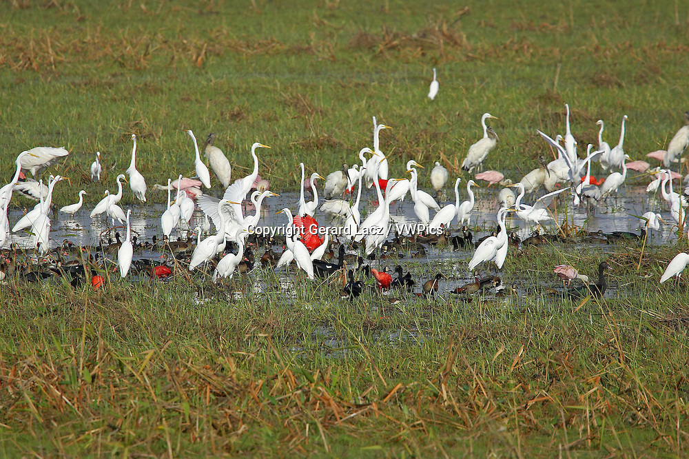 Great White Egret, casmerodius albus, Group standing in Swamp with Scarlet Ibis, Red-billed whistling duck and White-faced whistling duck,  Los Lianos in Venezuela