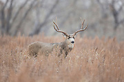 Trophy mule deer buck during fall rut