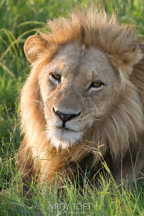 An animal portrait of an African lion sitting in the tall grass, Botswana, Africa