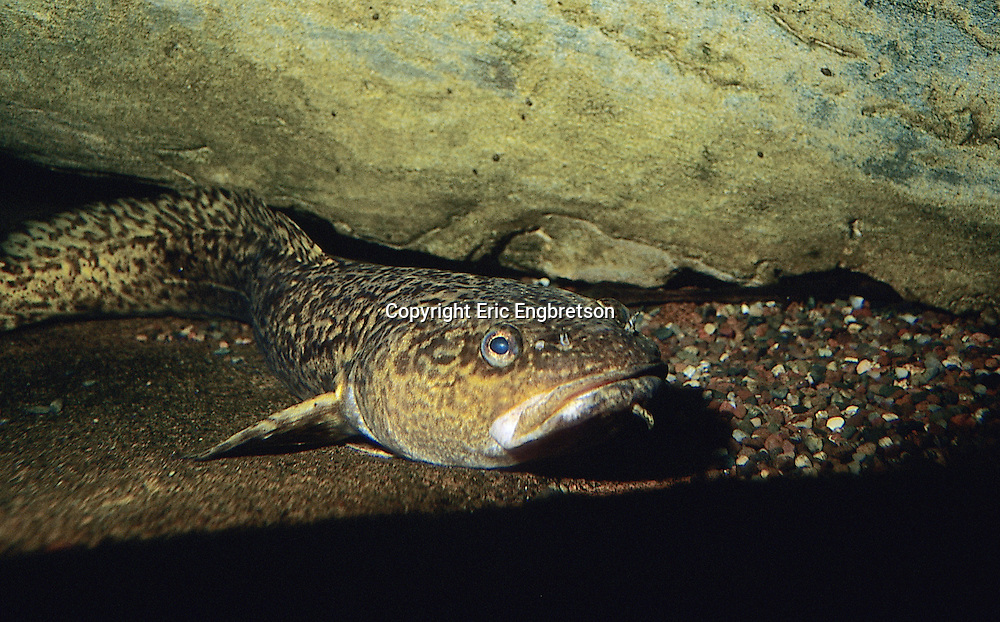 Burbot<br />