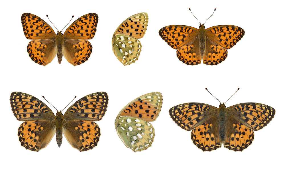 Dark Green Fritillary - Argynnis aglaia - male (top) - female (bottom). Wingspan 60mm. An active, fast-flying butterfly, seen skimming and gliding over open ground and feeding on the flowers of thistles and knapweeds. Adult has orange-brown upperwings; underside of hindwing is suffused with olive-green scaling. Flies July–August. Larva is black with spiky hairs; feeds on violets. Widespread but local on chalk downland and sand dunes in Britain and Ireland; commonest near coasts and in western half of region.