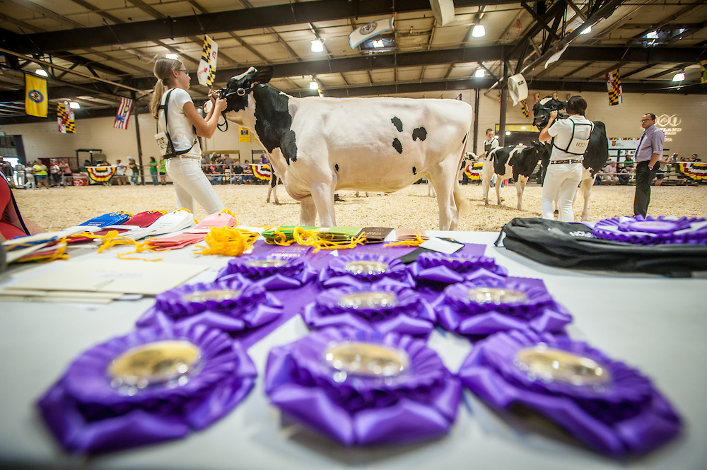 A young girl guides and examines a cow during a competition at the Maryland state fair, while placement ribbons lie in the foreground.