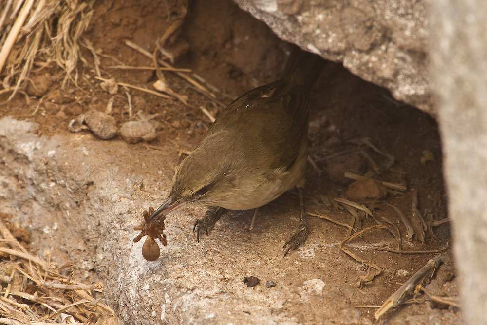Nihoa Millerbird photo