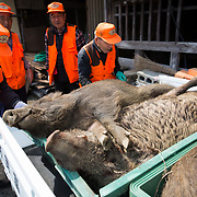 TOMIOKA TOWN, JAPAN - MARCH 30 : Members of Tomioka town's animal control hunters group collect the killed wild boar at a residential area near Tokyo Electric Power Co's (TEPCO) tsunami-crippled Fukushima Daiichi nuclear power plant in Tomioka town, Fukushima prefecture, Japan, March 30, 2017. (Photo by Richard Atrero de Guzman/NUR Photo)