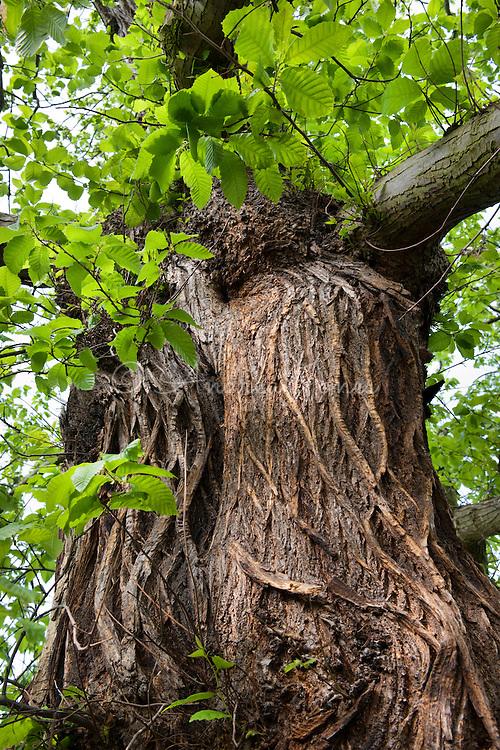 Castanea sativa (Sweet chestnut). RBG Kew, Richmond, Surrey, England, UK.