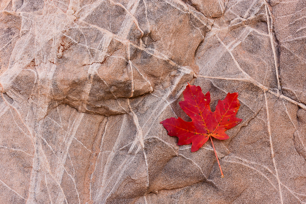 A red maple leaf in a rock, signals the arrival of Autumn in the Zion Plateau