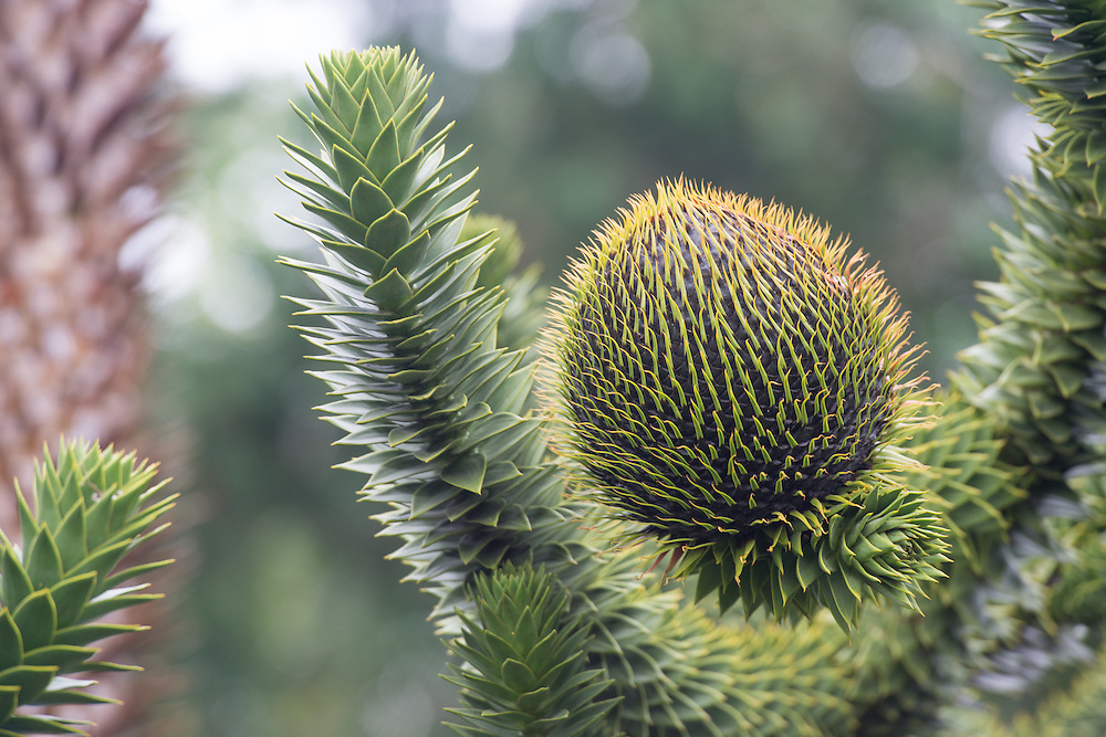 Araucaria araucana (commonly called the monkey puzzle tree, monkey tail tree, Chilean pine, or pehuén)  Chile