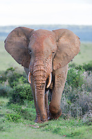 Large African Elephant bull in Musth and covered in mud, Addo Elephant National Park, Eastern Cape, South Africa