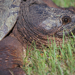 A snapping turtle, Chelydra serpentina, in Machias, Maine.
