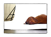 "SHOT 2/18/08 11:08:56 AM - Portraits of various dogs at the 13th Annual Rocky Mountain Cluster dog show at the National Western Complex in Denver, Co. ""Campy"", a 14 month old female Vizsla, settles in during the photo shoot relaxing on the seamless. ""Campy"" is owned by Ginger Sammonds of Loveland, Co. The Hungarian Vizsla, is a dog breed originating in Hungary. Vizslas are known as excellent hunting dogs, and also have a level personality making them well suited for families. Vizslas are lively, gentle-mannered, loyal, caring and highly affectionate. They quickly form close bonds with their owners, including children. Often they are referred to as ""velcro"" dogs because of their loyalty and affection. They are quiet dogs, only barking if necessary or provoked. They are natural hunters with an excellent ability to take training. Not only are they great pointers, but they are excellent retrievers as well. The dog show features some of the top show dogs in the country and showcases close to 200 different breeds. Some 3,500 dogs and some of the top handlers in the country compete at the event which follows on the heels of Westminster. In a conformation show, judges familiar with specific dog breeds evaluate individual dogs for how well they conform to published breed standards. Conformation shows are also referred to as dog shows or breed shows. Conformation shows are typically held under the auspices of a national kennel club. At the highest levels are Championship or all-breed shows, which have separate classes for the majority of breeds.(Photo by Marc Piscotty / © 2008)"