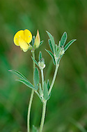 NARROW-LEAVED BIRD'S-FOOT TREFOIL Lotus glaber (Fabaceae) Height to 10cm. Rather upright, hairless perennial of damp grassy places on clay. Similar to Common Bird's-foot Trefoil but more slender. FLOWERS are 10mm long; borne on relatively short stalks, in heads of 2-4 (May-Aug). FRUITS are slender pods. LEAVES have 5 narrow, pointed leaflets, but appear trifoliate. STATUS-Local, mainly in S.
