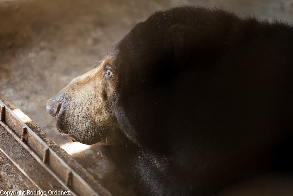 A sun bear rests under the shade of a fenced area at the Sun Bear Sanctuary run by the Borneo Orangutan Survival Foundation in the Samboja Lestari conservation area in Kutai Kartanegara district, East Kalimantan, Indonesia, on March 13, 2016. Sun bears (Helarctos malayanus) are classified as Vulnerable by IUCN, since large-scale deforestation in Southeast Asia has dramatically reduced their natural habitat. <br /> (Photo: Rodrigo Ordonez)