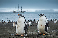 Antarctica, February 2018.  Gentoo Penguin colony. The first landing on the South Shetland Islands, on the beach of Barrientos Island between of hundreds of Gentoo and Chinstrap penguins.  Dutch Tallship, Bark Europa, explores Antarctica during a 22 day sailing expedition. Photo by Frits Meyst / MeystPhoto.com