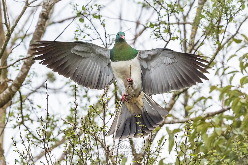 A New Zealand Wood Pigeon balances on a flimsy branch, New Zealand