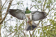 A New Zealand Wood Pigeon balances on a flimsy branch, New Zealand