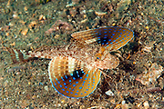 Blue Spotted Sea Robin, Prionotus roseus, swims near the bottom of the Lake Worth Lagoon, Singer Island, Florida.