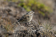 The Falkland thrush, a subspecies of the Austral thrush perches on grass.