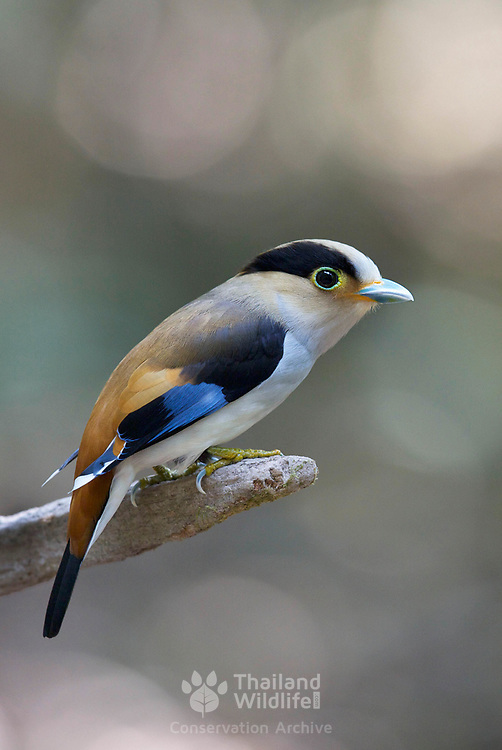 The silver-breasted broadbill (Serilophus lunatus) is a species of bird in the broadbill family Eurylaimidae. It is monotypic (the only species) within the genus Serilophus.