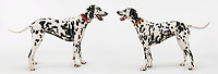 Two Dalmatians standing face to face