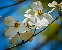 Dogwood Tree Flower. Image taken with a Nikon N1V3 camera and 70-300 mm VR lens.