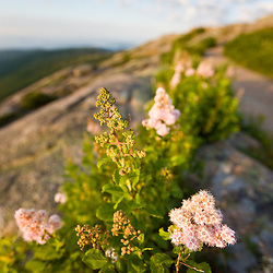 Meadowsweet, Spiraea latifolia, blooming on the summit of Cadillac Mountain in Maine's Acadia National Park.