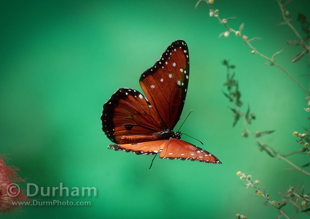 A queen butterfly (Danaus gillippus) in flight near Madera Canyon, Arizona.