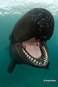 false killer whale, Pseudorca crassidens, showing teeth