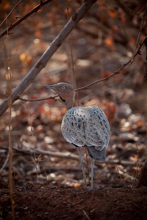 Bustard, Ruaha National Park, Tanzania