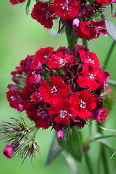 Dianthus barbatus F1 'Sweet Red'. Sweet William