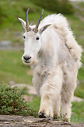 Mountain Goat (Oreamnos americanus) walking in an Alpine setting, Northern Rockies