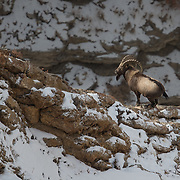 Himalayan Ibex Photographed in Spiti Valley, India.