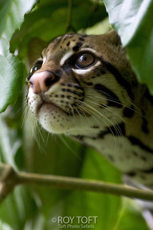 Portrait of a wild Ocelot (Leopardus pardalis), Osa Peninsula, Costa Rica