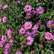 Pink flowers at Bon Air Park in Arlington, Virginia.