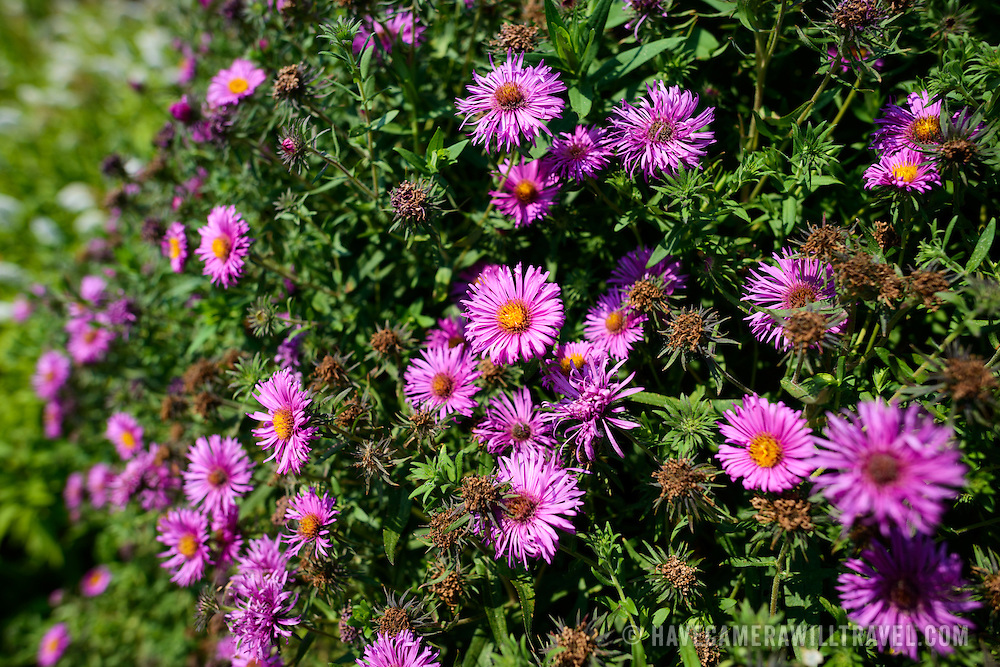 Pink flowers at Bon Air Park in Arlington, Virginia.