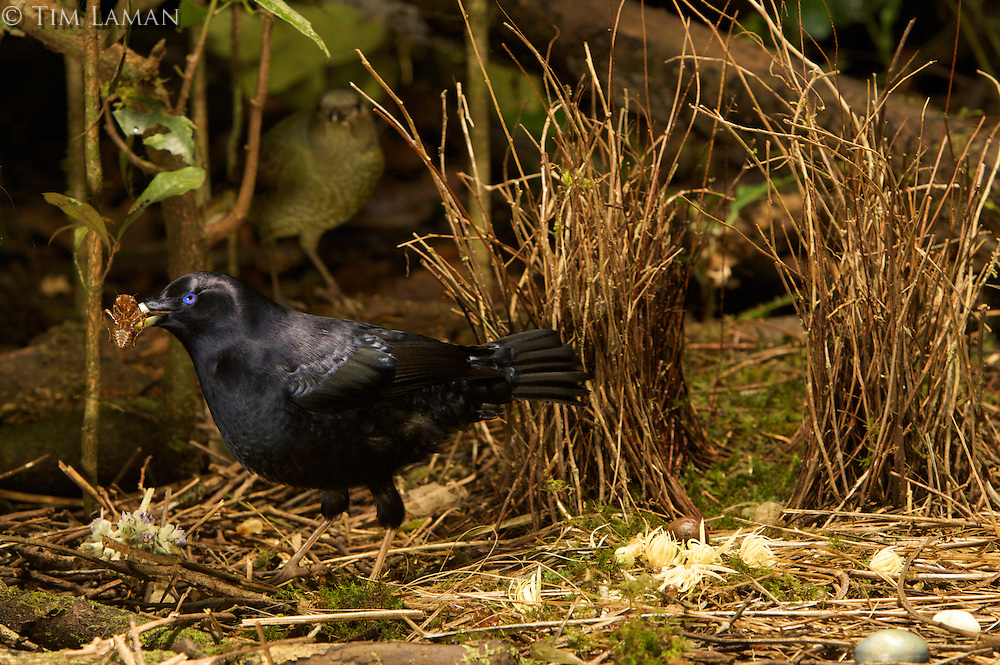 Satin Bowerbird (Ptilonorhynchus violaceus minor) male displays to a female who stands just behind his bower.  He holds a cicada case in his bill...This bower is decorated with all natural objects..Rain forest of the Atherton Tablelands..Queensland, Australia