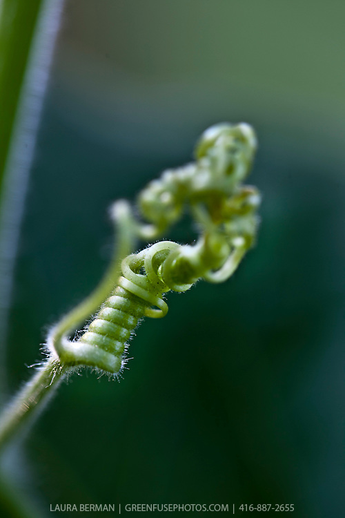 Tightly coiled tendril of the Bottle gourd (Lagenaria siceraria). This squash family member is an annual vine  having white flowers and smooth, large, hard-shelled gourds. Grown most often in warmer climates, this squash grows from 6 to 36 inches long and 3 to 12 inches in diameter.
