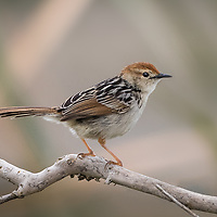 Cisticola tinniens, South Africa
