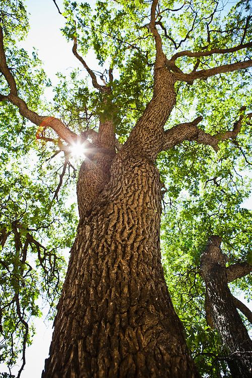 A Oregon White Oak tree in Tieton Canyon, Washington, USA.
