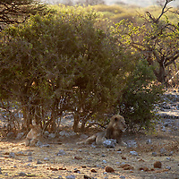 Africa, Namibia, Etosha. A pair of lions quietly watch activity at the water hole, unnoticed.