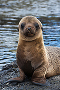 Galapagos Sealion Pup (Zalophus wollebaeki)<br /> Isabela Island, GALAPAGOS ISLANDS<br /> ECUADOR.  South America<br /> There are approximately 16,000 individuals in the archipelago and numbers are increasing. Males are much larger than females, weighing up to 250kg compared with 100kg in the females. They spend a large amount of time hauled up on sandy beaches. The males establish territories which are savegely defended from rivals. Young bachelors and unsuccessful bulls then leave the area and establish bachelor colonies on the outskirts of female haul-outs. Reproduction occures mainly in the Garua season between July and December and will vary from Island to Island. Sealions are highly thigmotactic (seeking body contact) and loaf around in piles on the beaches. They are extremely efficient hunters, preferring sardines to other fish, so spend a considerable time resting or at play. Underwater they are well streamlined, lithe and acrobatic.